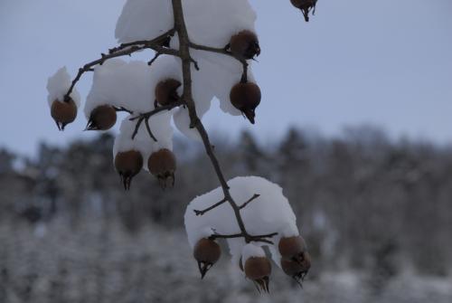 Schnee auf Hagebutten