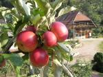 Vollreife Früchte
