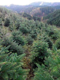 Christbäume aus nachhaltigen Anbau