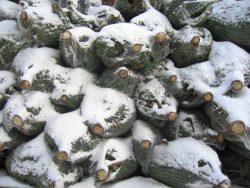 Weihnachstbaeume im Schnee, warten aufden Einsatz in Ihrem Wohnzimmer